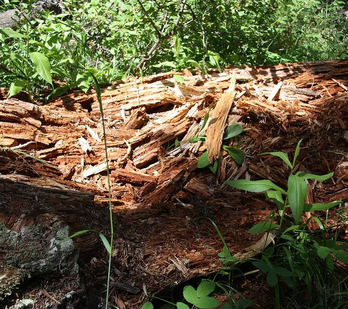 rotting-fallen-tree.jpg
