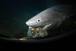 Sixgill Sharks