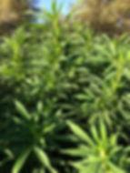 Hemp plants2.jpg