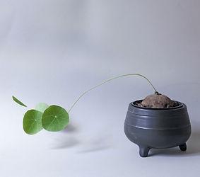 Stephania Erecta plant