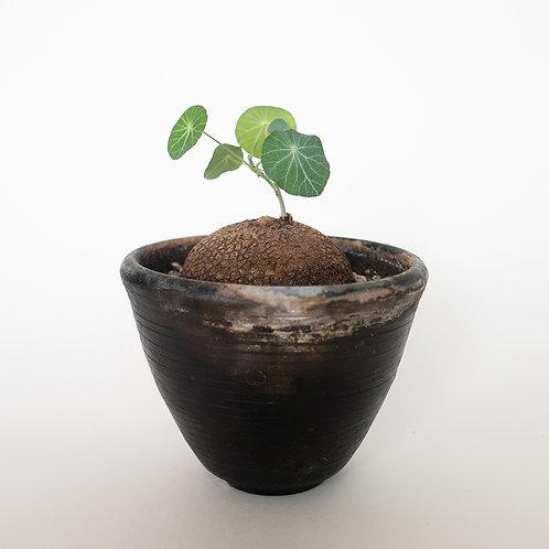 Stephania suberosa + Pot