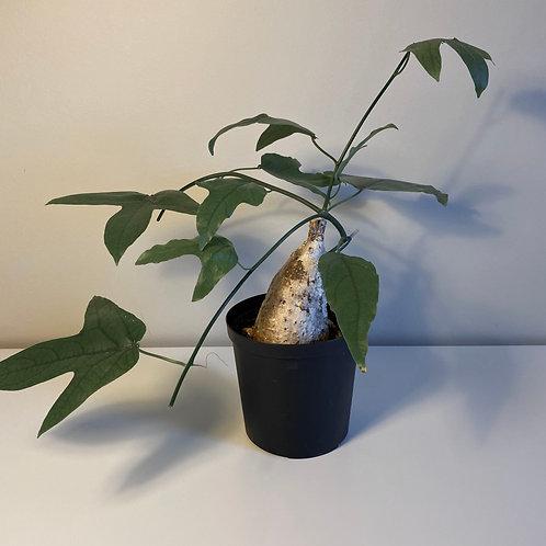 Adenia viridiflora