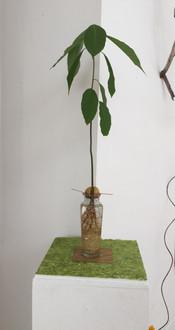 Avocado Roots - 2019