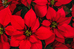 Our Flower of the Month - The Poinsettia