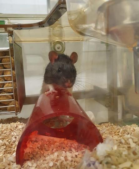 Rattenhaltung3.JPG