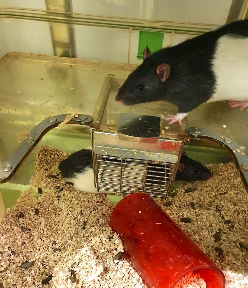 Rattenhaltung1.JPG
