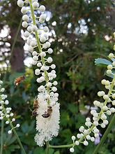 Honey bee on bugbane.jpg