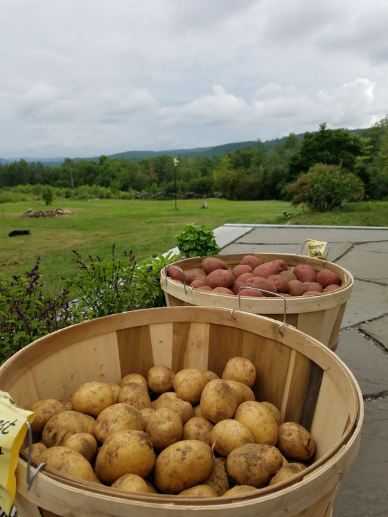 Just Dug Potatoes