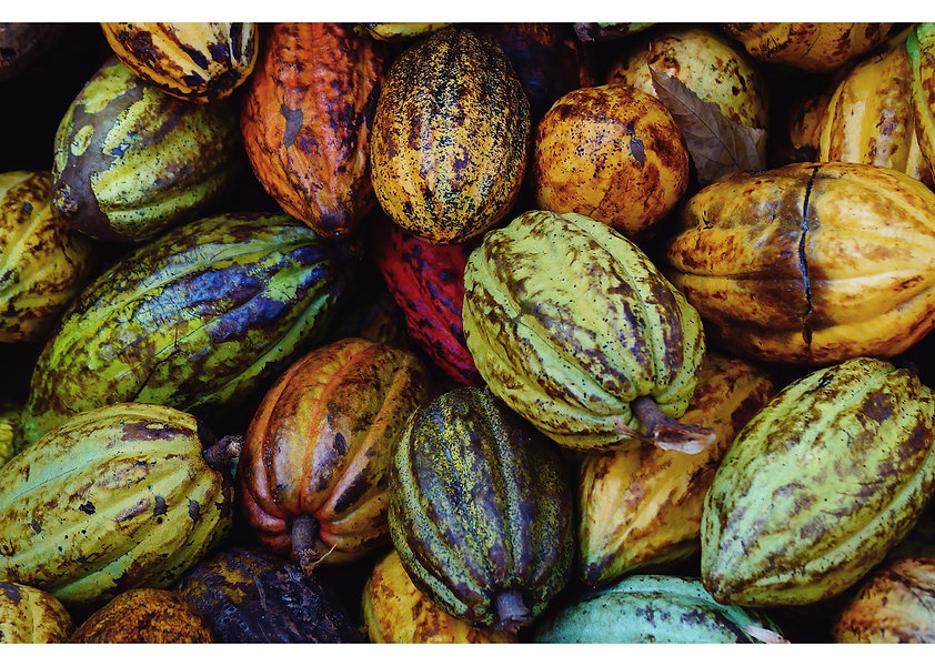 Cacao Pods on Tree The Kindred Cauldron