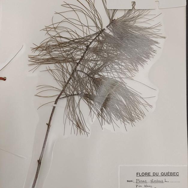 Pin strobus ou pin blanc