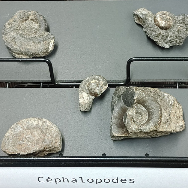 Céphalopodes