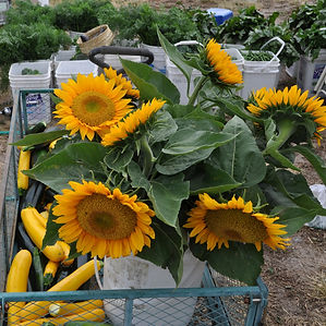 Sunflowers and squash for market
