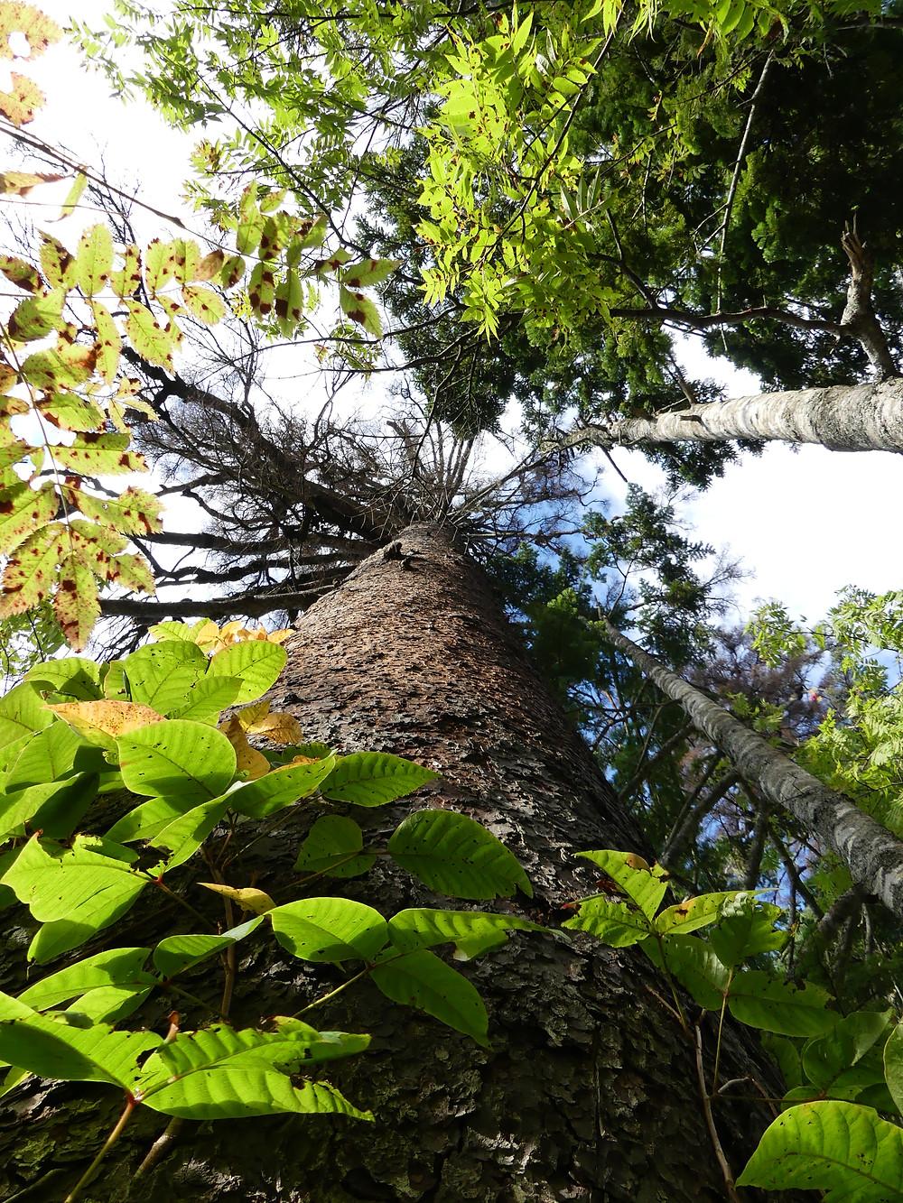 樹齢600年のアカエゾマツ