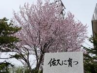旧佐久小学校の桜