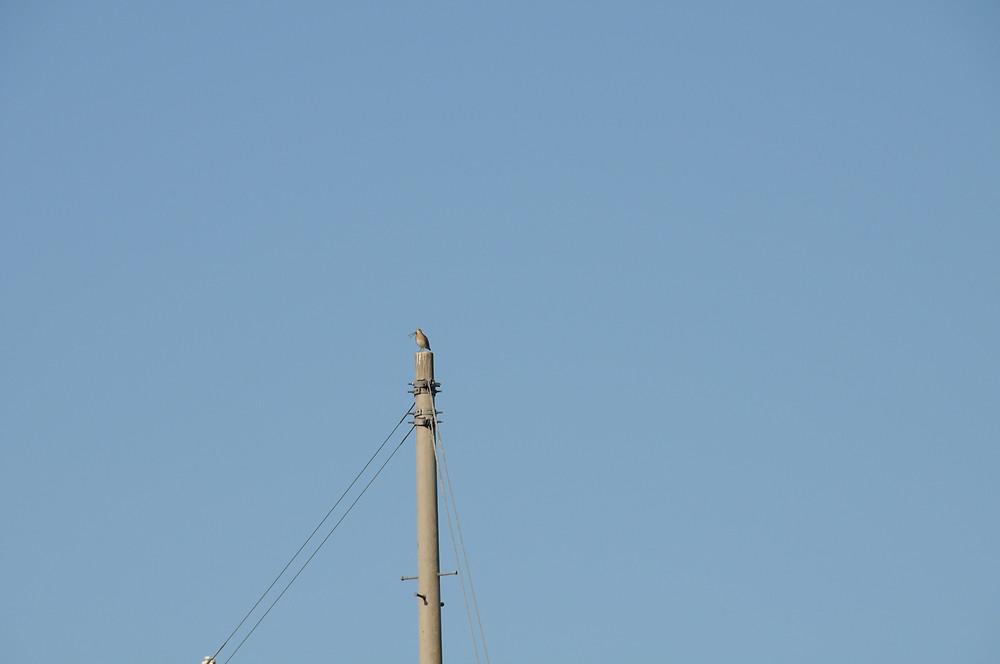 電柱の上のカミナリシギ