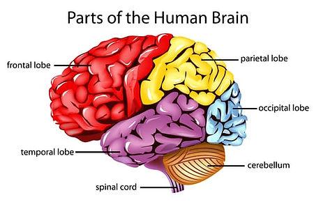parts-of-human-brain.jpg