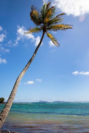 Sugar Reef Palm Tree.jpg