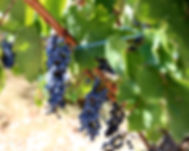 Grapes Lefkada Winery.jpg