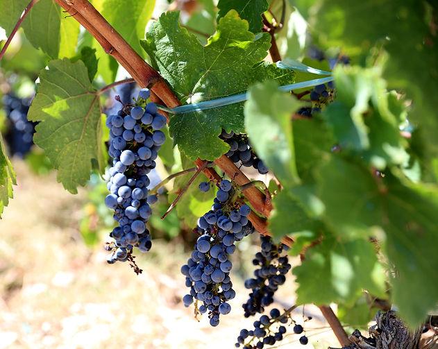 Grapes Lefkada Winery.jpg