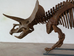 Triceratops Fossil Skeleton