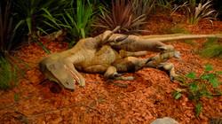 Velociraptor - Melbourne