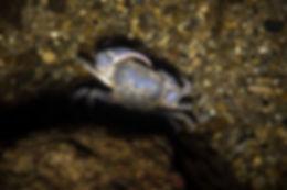 granchio d'acqua dolce