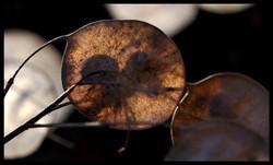 Sun Through Honesty Seeds