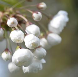 Charry Blossom 2