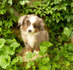 We have one mini Aussie pup available. His owner's daughter is allergic so he is back looking for hi