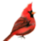 transparent cardinal.png