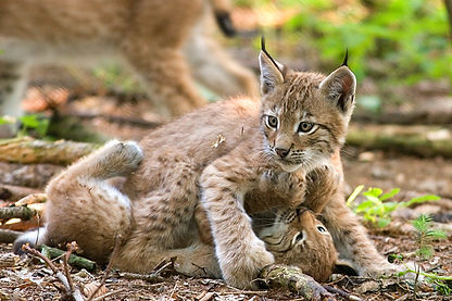 Two_lynxes_playing.jpg