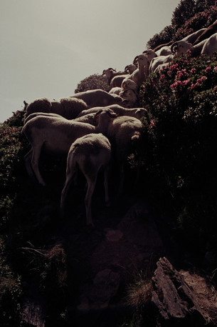 Sheep, 2014