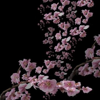 Kyoto-shi Cherry Blossom Tree