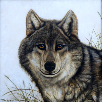 Timber Wolf in Grass