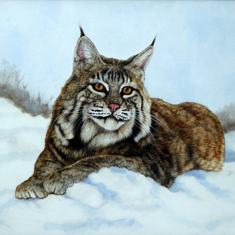 Bobcat Laying in Snow