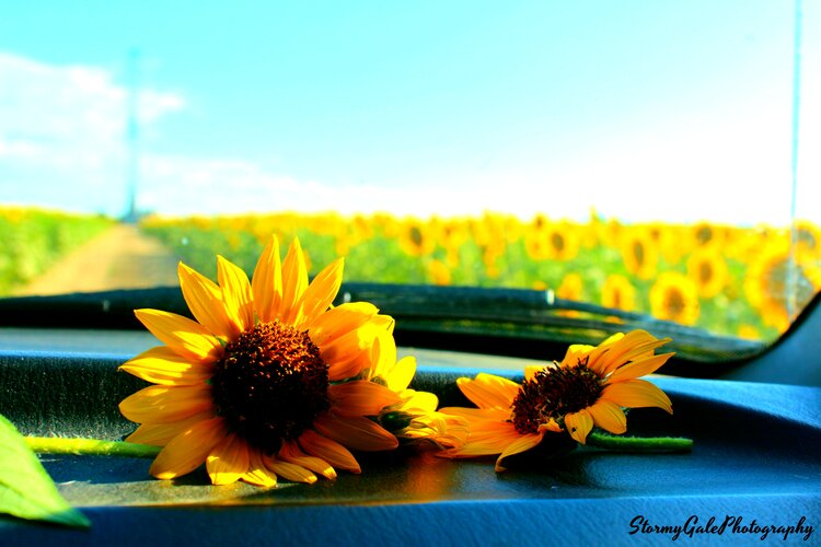 Sunflowers on a Pickup