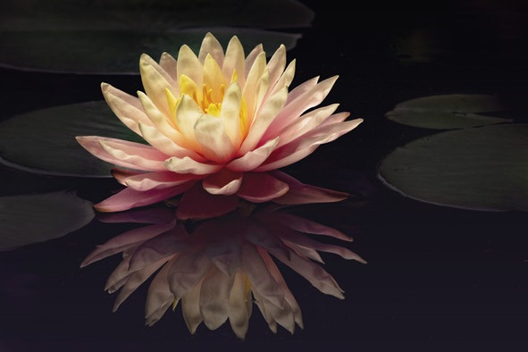 Photography Study Water Lily