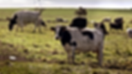 King Island Radio dairy cows