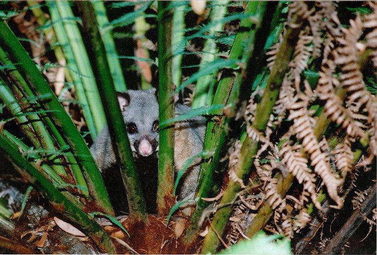 King Island Nature reserve possum wildlife