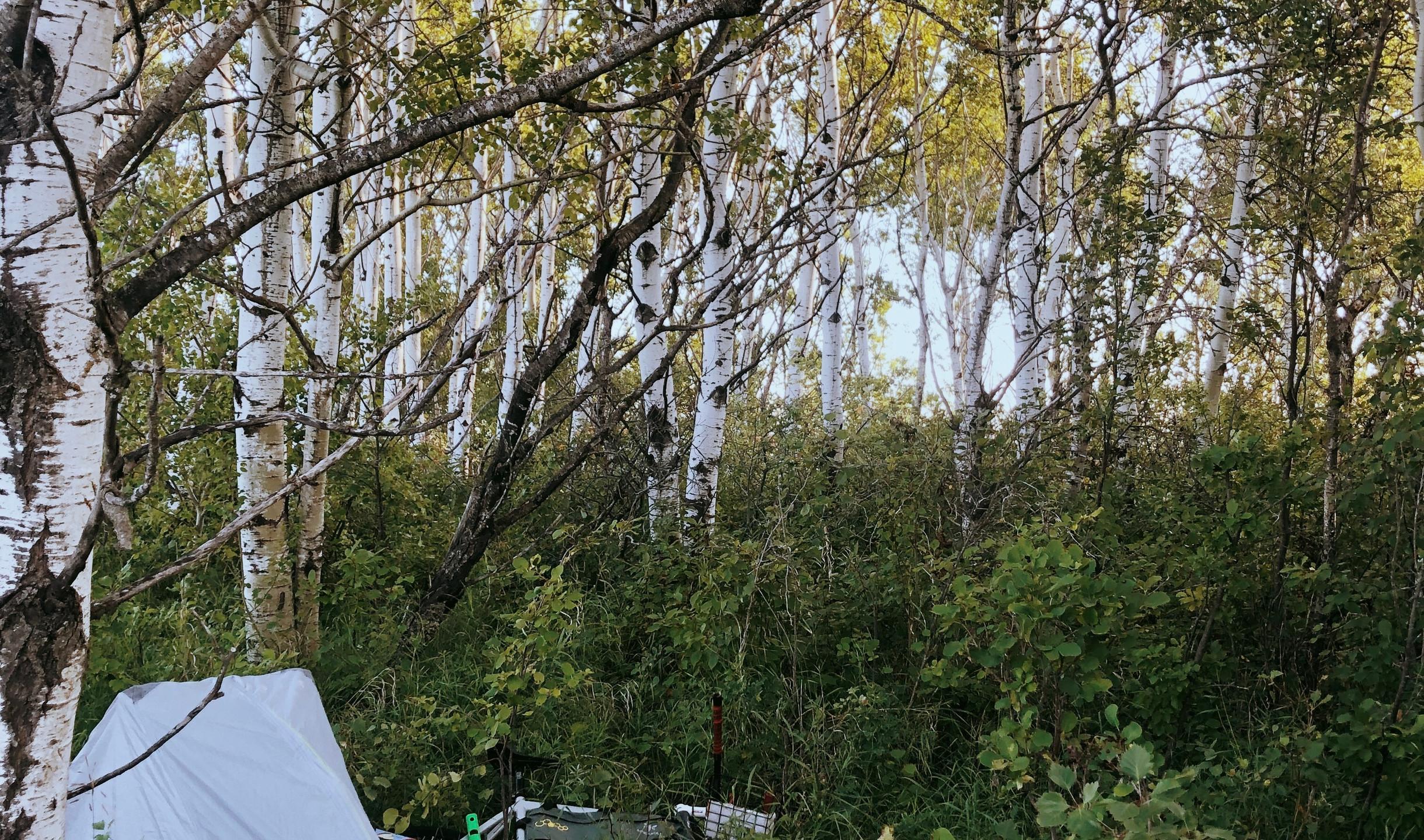 camping tent in aspen grove