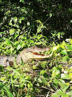 Crocodile Costa Rica.JPG