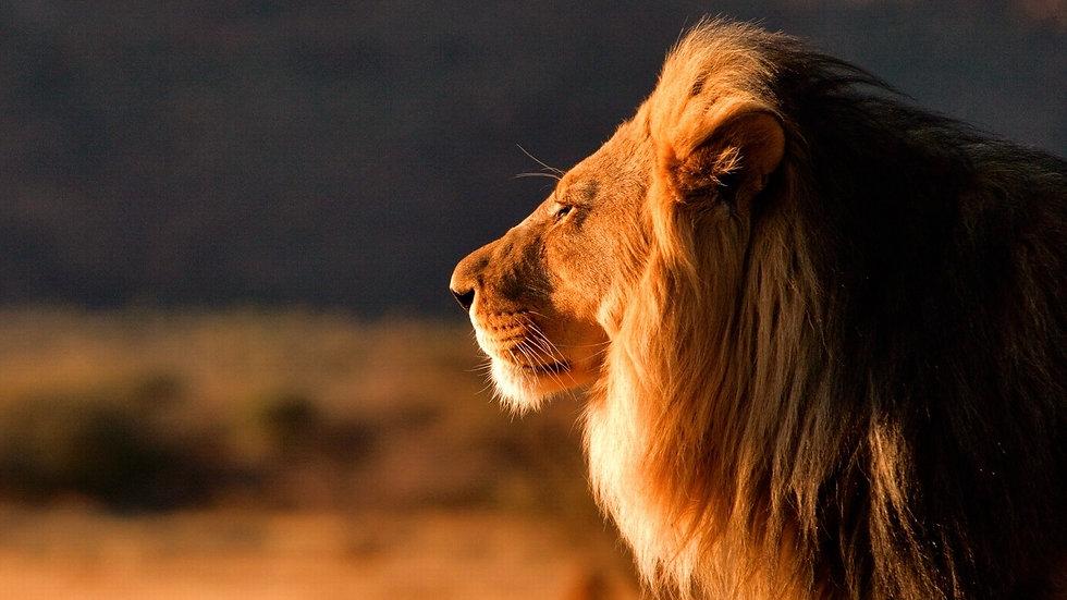Summer-lion-face-close-up_1920x1080_edit