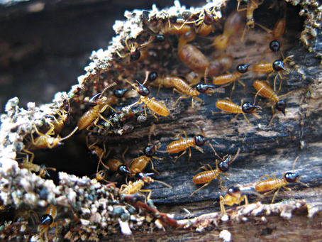Les Termites : Desinsectisation Aubervilliers