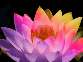 """Just like the Lotus we too have the ability to rise..."