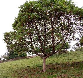 Kosso-Baum, 15 Jahre
