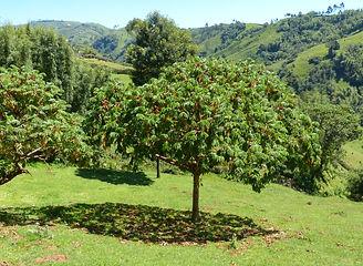 Kosso-Baum
