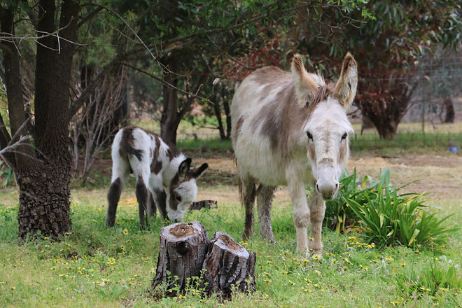 Miniature donkeys, Skye and baby Dusty