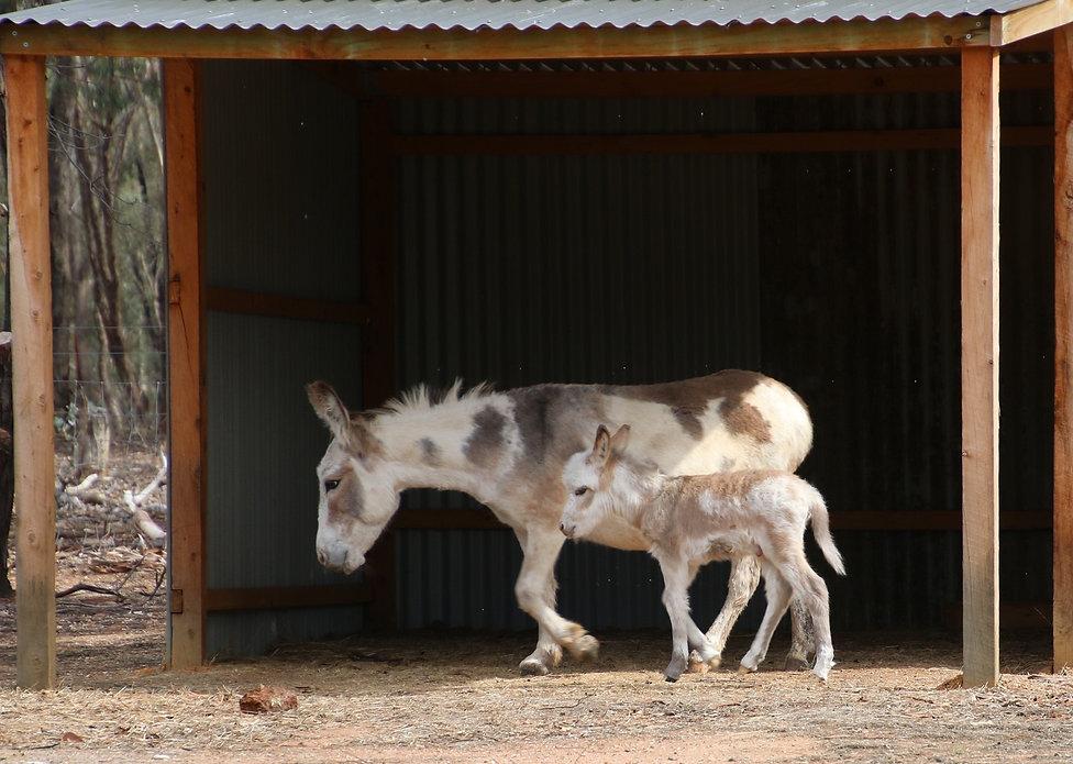 Miniature donkey farm stay Victoria