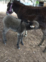 Apollo the mini donkey having his first feed