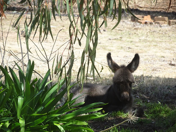 Apollo the mini donkey having a rest in the shade